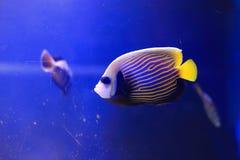 angelfish emperor Στοκ Εικόνες