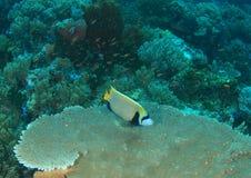 angelfish emperor Στοκ φωτογραφίες με δικαίωμα ελεύθερης χρήσης