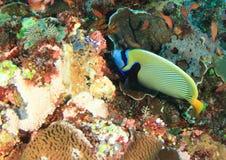 angelfish emperor Στοκ Φωτογραφία