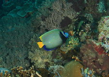 angelfish emperor Στοκ Εικόνα
