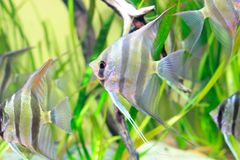 Angelfish en acuario Fotos de archivo libres de regalías
