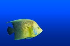 Angelfish en el acuario aislado fotografía de archivo libre de regalías