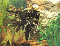 Angelfish, fish in aquarium. Stock Images