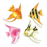 Angelfish fish Stock Photography