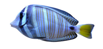 Angelfish fish Stock Photo