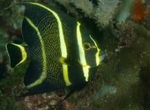 Angelfish francês imagens de stock royalty free