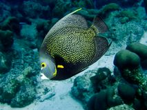 Angelfish francês imagem de stock royalty free
