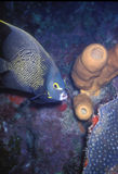 Angelfish francês Fotos de Stock Royalty Free