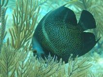 Angelfish francese Fotografia Stock Libera da Diritti