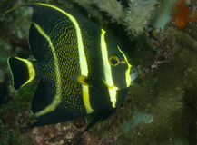 Angelfish francese immagini stock libere da diritti