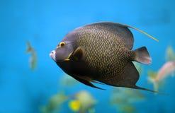 Angelfish francese Immagini Stock