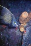 Angelfish francese Fotografie Stock Libere da Diritti