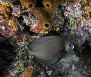 Angelfish francese sulla barriera corallina Immagine Stock Libera da Diritti
