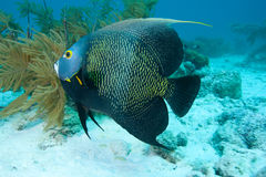 angelfish francuz Zdjęcia Stock