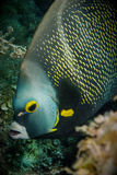 Angelfish Royalty Free Stock Photo