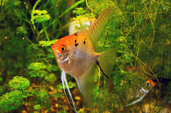 Angelfish in green thicket of aquarium Stock Photos