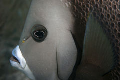 Angelfish grigio Fotografia Stock