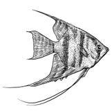Angelfish ilustracja, rysunek, rytownictwo, atrament, kreskowa sztuka, wektor Zdjęcie Stock