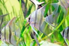 Angelfish im Aquarium Lizenzfreie Stockfotos