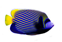 Angelfish isolated on white background. An Angelfish isolated on white background royalty free stock image