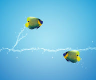 Angelfish jumping Stock Photos