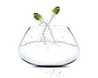 Angelfish jumping and doing Acrobatic show.  Stock Photography