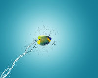 Angelfish jumping out of water. Angelfish jumping to other bowl, good concept for Recklessness and challenge concept Royalty Free Stock Photos