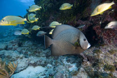 Angelfish, Key Largo, Florida Stock Images