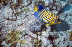 angelfish królewski Fotografia Royalty Free