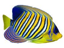 angelfish królewski Zdjęcia Royalty Free