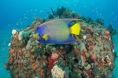 angelfish królowa Obrazy Stock