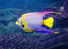 Angelfish królowa Isabelita Zdjęcie Stock