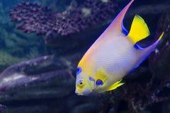 Angelfish królowa Isabelita Obraz Stock