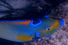 angelfish królowej. Obraz Royalty Free
