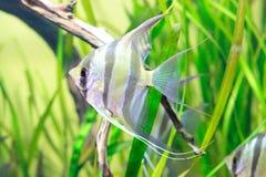 Angelfish no aquário Imagem de Stock Royalty Free