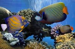 Angelfish Pomacanthidae morza czerwonego Zdjęcie Royalty Free