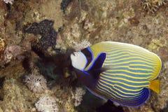 angelfish pomacanthus imperator αυτοκρατόρων Στοκ Φωτογραφία