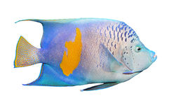 The Angelfish (Pomacanthus). Stock Images