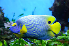 Angelfish (Pomacanthus xanthometapon). Side view of bluefaced Angelfish (Pomacanthus xanthometapon) swimming royalty free stock photography