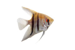 Angelfish in profile on white Royalty Free Stock Photography