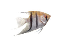 Angelfish in profile on white Stock Image