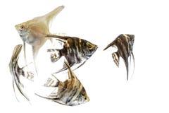 Angelfish Pterophyllum που απομονώνεται Στοκ Φωτογραφία