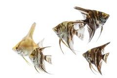 Angelfish Pterophyllum που απομονώνεται Στοκ Εικόνες