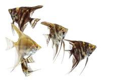 Angelfish Pterophyllum που απομονώνεται Στοκ Εικόνα