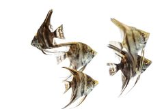 Angelfish Pterophyllum που απομονώνεται Στοκ φωτογραφία με δικαίωμα ελεύθερης χρήσης