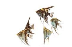 Angelfish Pterophyllum που απομονώνεται Στοκ εικόνες με δικαίωμα ελεύθερης χρήσης