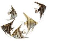 Angelfish Pterophyllum που απομονώνεται Στοκ φωτογραφίες με δικαίωμα ελεύθερης χρήσης
