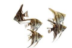Angelfish Pterophyllum isolated Royalty Free Stock Photo