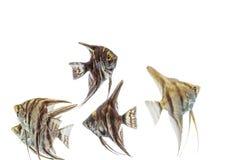 Angelfish Pterophyllum isolated Stock Photography