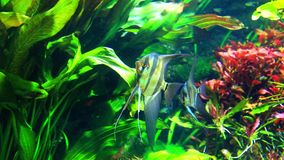 Angelfish - Pterophyllum scalare – in a tropical aquarium stock video